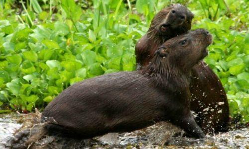 Zdjecie BRAZYLIA / brak / Pantanal / Pantanal_kapibary