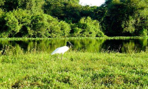 Zdjęcie BRAZYLIA / Pantanal / Rio Cuiaba / Jabiru