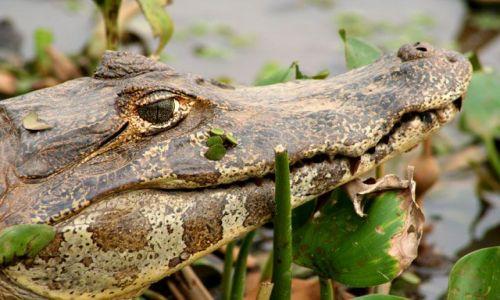 Zdjecie BRAZYLIA / brak / Pantanal / Kajmanek