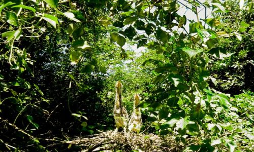 Zdjęcie BRAZYLIA / Pantanal / Jedna z wielu rzek Panatanalu / Pisklęta Tiger Heron