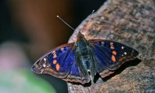 Zdjecie BRAZYLIA / Parana / Park Narodowy Iguazu / Motyli weteran