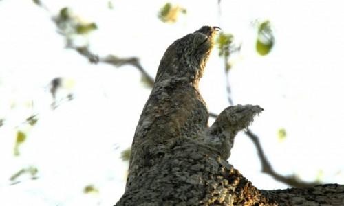 Zdjecie BRAZYLIA / Mato Grosso / Pantanal / Bardzo opiekuńczy nocolot