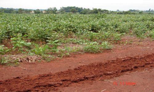 Zdjecie BRAZYLIA / przy granicy z Paragwajem / przy granicy z Paragwajem / plantacja - soja