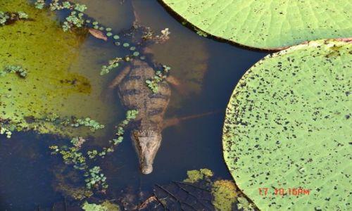 Zdjecie BRAZYLIA / Amazonka / Amazonka / aligator na liściach Amazońskiej Lilii Wiktoriańskiej
