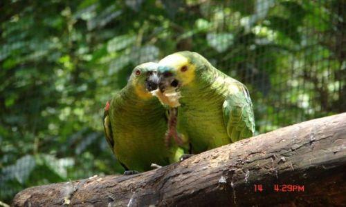 Zdjecie BRAZYLIA / Iguazu / Iguazu / papużki...