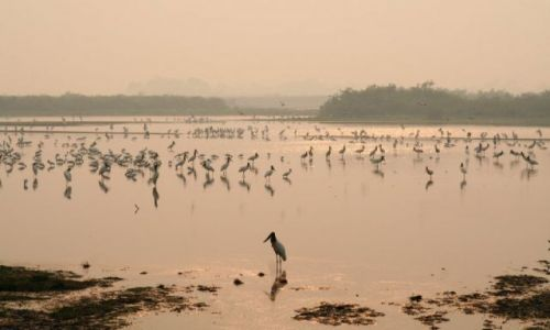 Zdjęcie BRAZYLIA / - / Pantanal / bociany