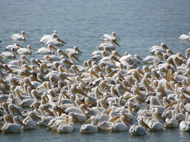 Zdjęcia: Rezerwat ptaków Burgas, Burgas, Pelikany, BUłGARIA
