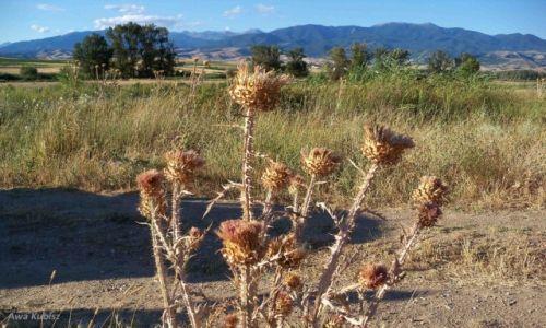 Zdjecie BUłGARIA / Południe / Okolice Melnika / Wszędobylskie osty na bułgarskich równinach