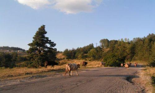 Zdjecie BUłGARIA / Rodopy / Dospat / Krowy wracają do domu