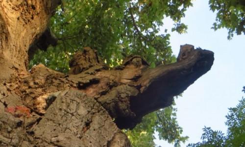 Zdjecie BUłGARIA / okolice Warny / Bałczik / w parku - topolowy krokodyl