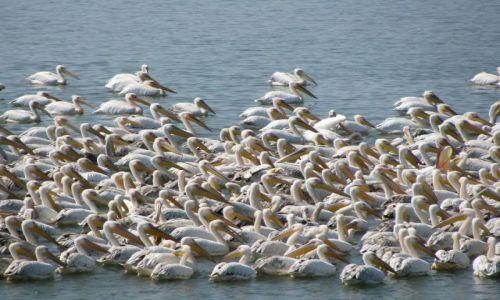 Zdjecie BUłGARIA / Burgas / Rezerwat ptaków Burgas / Pelikany