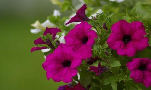 Zdjecie BU�GARIA / brak / Kiten / Niez�e kwiatki
