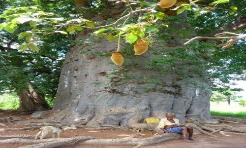 BURKINA FASO / - / okolice Banfory, okolice jeziora Tengrela / Święty Baobab.
