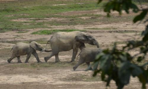 Zdjecie BURKINA FASO / Południowe Burkina Faso / Rezerwat Nazinga / Maszerują słonie