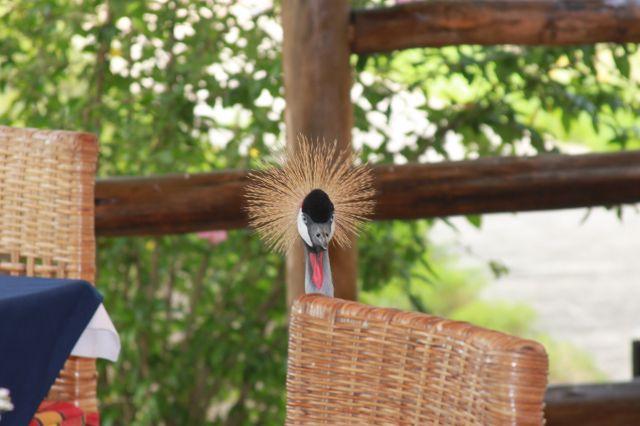 Zdjęcia: Club du Lac hotel, żuraw koroniasty na sniadaniu, BURUNDI