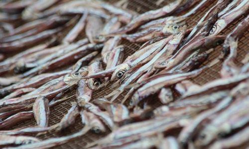 Zdjęcie BURUNDI / Burundi / Burundi / Suszenie ryb nad jeziorem Tanganika