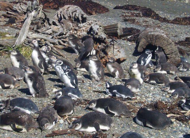 Zdjęcia: Seno Otway, Patagonia, Przedszkole, CHILE