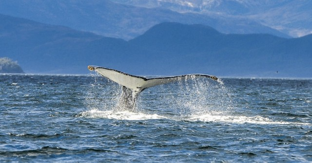 Zdjęcia: Cieśnina Magellana, Punta Arenas, Końcówka humbaka, CHILE