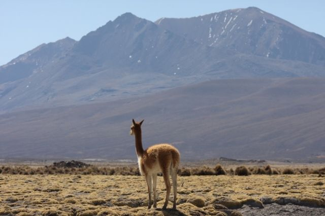 Zdjęcia: Park Narodowy Lauca, Wigoń, CHILE