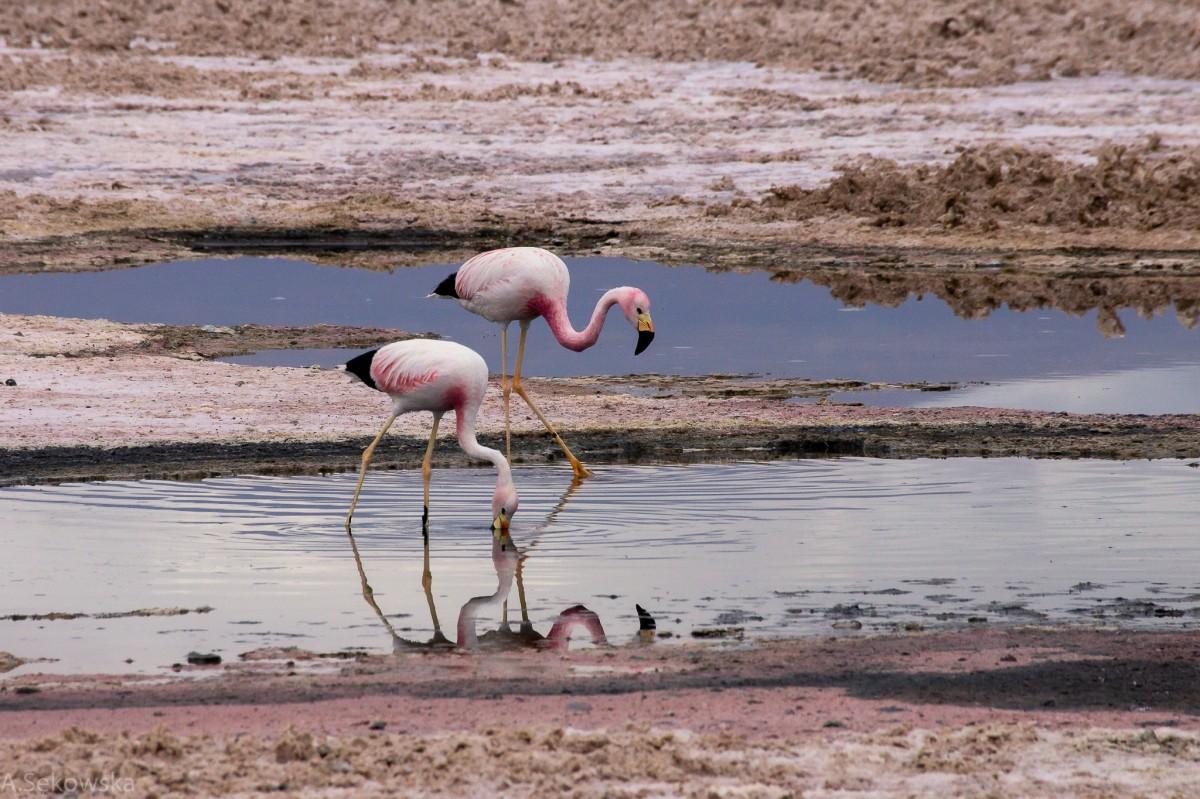 Zdjęcia: Laguna Chaxa, Atacama, Flamingi andyjskie, CHILE