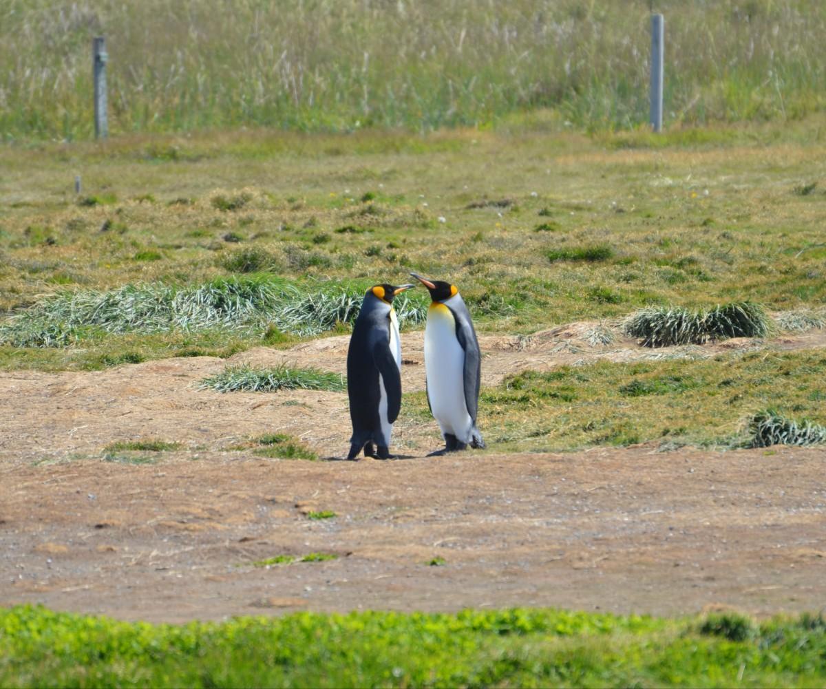 Zdjęcia: Pinguino Rey, Patagonia, Ploteczki, CHILE
