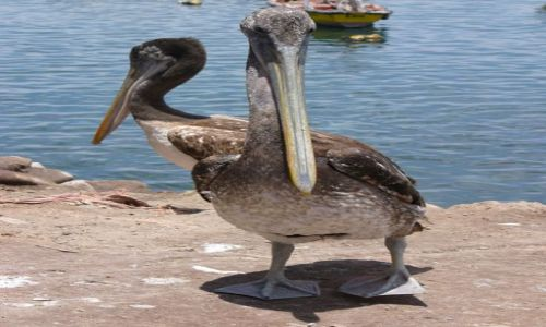 Zdjecie CHILE / Arica / Port / Dwuglowy pelikan?