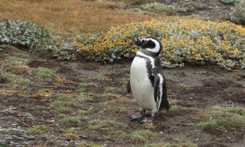 Zdjęcie CHILE / Punta Arenas / Otway Sound / Otway Sound penguin colony