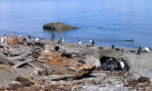 Zdjęcie CHILE / Punta Arenas / Seno Otway pinguinera / W grupie razniej