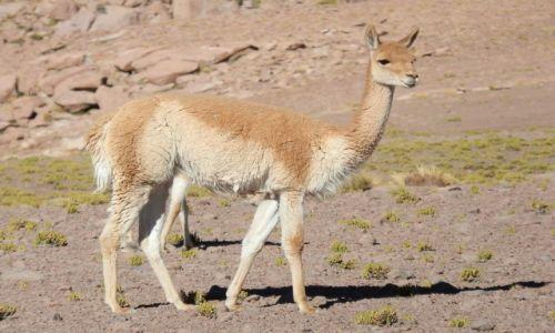Zdjecie CHILE / Andy / Atacama / Gracja i lekkość vicunii