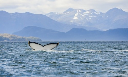 CHILE / Punta Arenas / Cieśnina Magellana / Ogon w wodzie