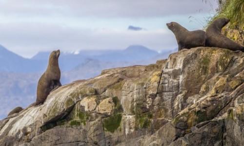 CHILE / Punta Arenas / Cieśnina Magellana / Lwy z morza