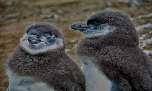 Zdjęcie CHILE / Patagonia / Isla Magdalena / Marzyciele
