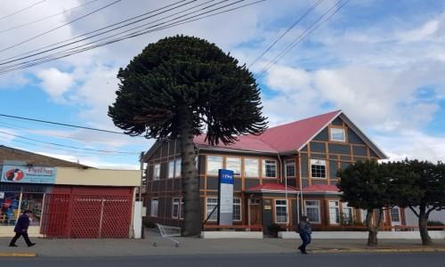 CHILE / Patagonia- region Magallanes / gdzieś po drodze / Araukaria chilijska