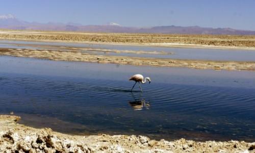 Zdjecie CHILE / San Pedro de Atacama / San Pedro de Atacama / Laguna Chaxa