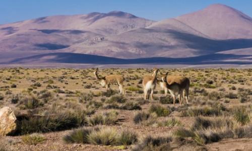Zdjecie CHILE / Arica y Parinacota / Reserva de vicunas / Fijoł na punkcie wikuni
