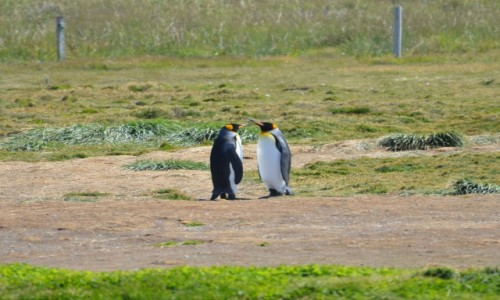 Zdjecie CHILE / Patagonia / Pinguino Rey / Ploteczki