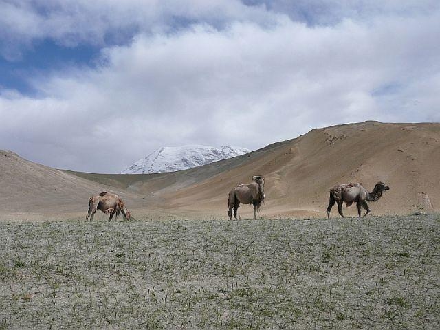 Zdjęcia: Muztagh Ata, Karakorum Highway, wielbłądy pod Muztagh Ata , CHINY