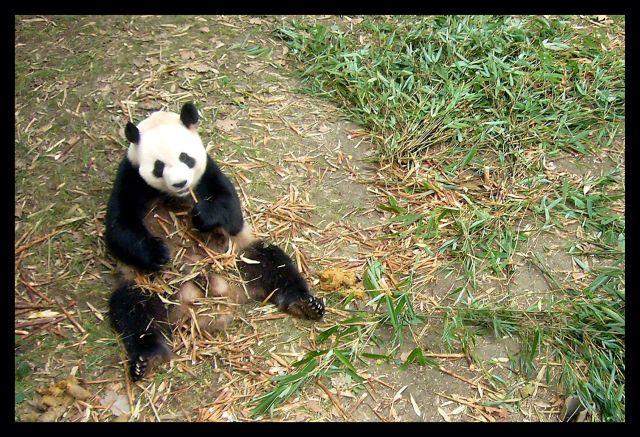 Zdjęcia: Chengdu, Syczuan, Smaczny bambus, CHINY