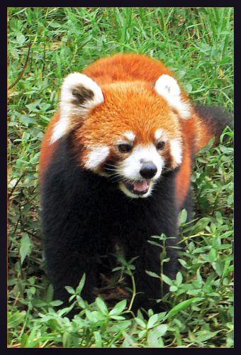 Zdjęcia: Chengdu, Syczuan, Panda mniejsza, czyli czerwona, CHINY