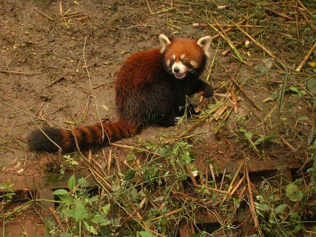 Zdjęcia:  Chengdu, Syczuan, panda czerwona, CHINY
