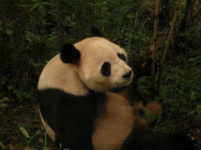 Zdjęcia:  Chengdu, Syczuan, panda olbrzymia, CHINY
