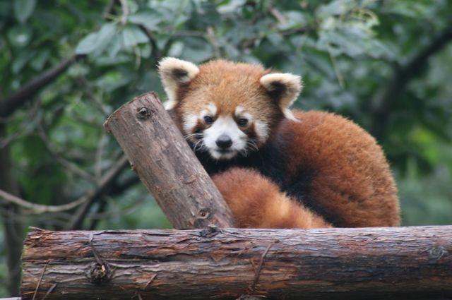 Zdjęcia: Chengdu, Panda Czerwona, CHINY