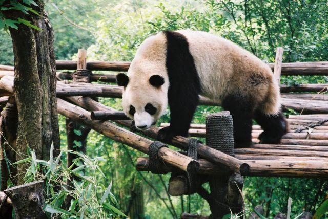 Zdj�cia: okolice Chengdu, maly mis? - panda, CHINY