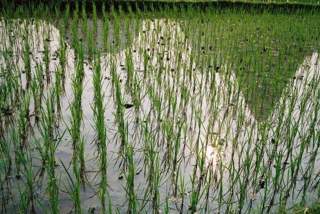 Zdjęcia: Yangshuo, Pole ryzowe, CHINY