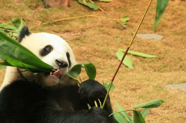 Zdjęcia: HongKong, Miś Panda, CHINY