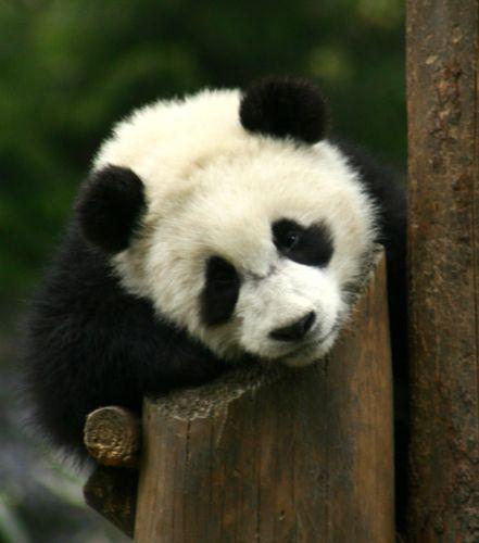 Zdjęcia: Syczuan, Wolong Nature Rezerves, CHINY
