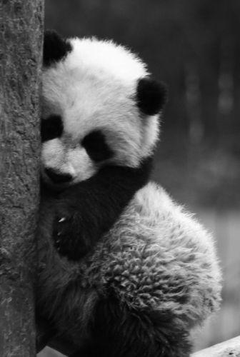 Zdjęcia: Wolong Nature Reserves, czy ktos mnie przytuli???, CHINY