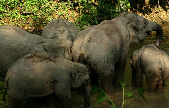 Zdjęcia: Xishuangbannan, dzikie slonie, CHINY