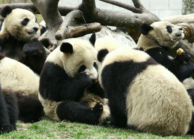Zdjęcia: wolong nature reserve, podczas posilku, CHINY