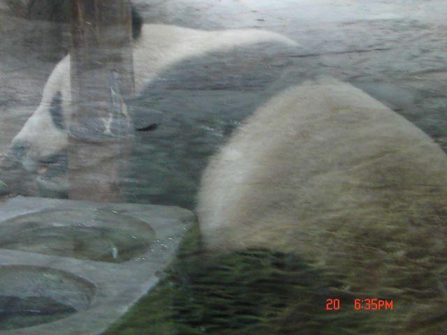 Zdjęcia: Szanghaj, Szanghaj ZOO, Panda Wielka 2, CHINY